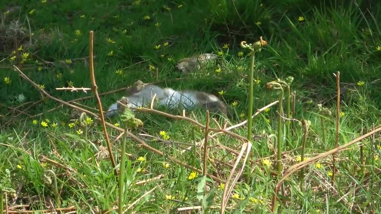Stoat snapping a rabbit's neck GIFs