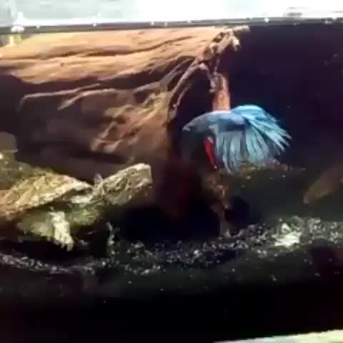 Nguyễn Trần Tiến Đạt, Snapping turtle about to eat betta fish GIFs