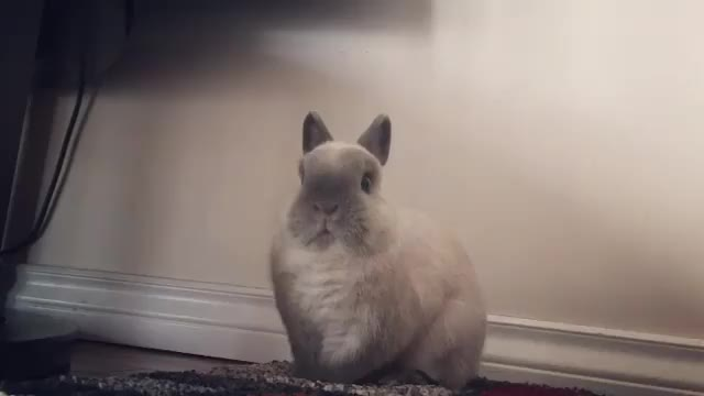Watch 🐰: when the living room makes strange noises #horrormoviesoundtrack ______________________ Check out these cuties @bunny_and_henry @gertje. GIF on Gfycat. Discover more bunny, bunnycheeksn, bunnymouf, bunnynose, bunny🐰, cagefree, dailyfluff, freeroam, horrormoviesoundtrack, instabuns, lionhead, netherlanddwarf, petoftheday, petscorner, petsofinstagram, petstagram, rabbitofig, rabbitsofinstagram, rabbit🐇, tiffosclub GIFs on Gfycat