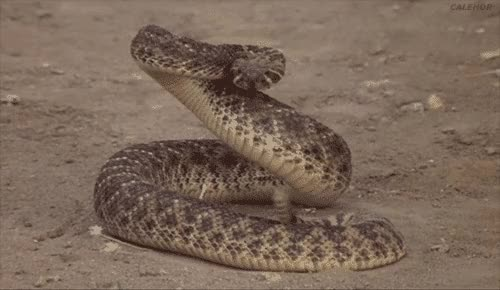 Watch and share Rattle Snake GIFs on Gfycat
