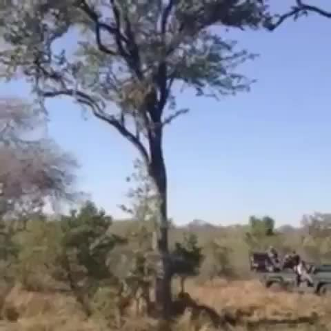 Watch and share Two Leopards Run Up A Tree To Fight With A Third And End Up Pulling One Another To The Ground GIFs by tothetenthpower on Gfycat