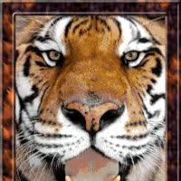 Tigers GIFs