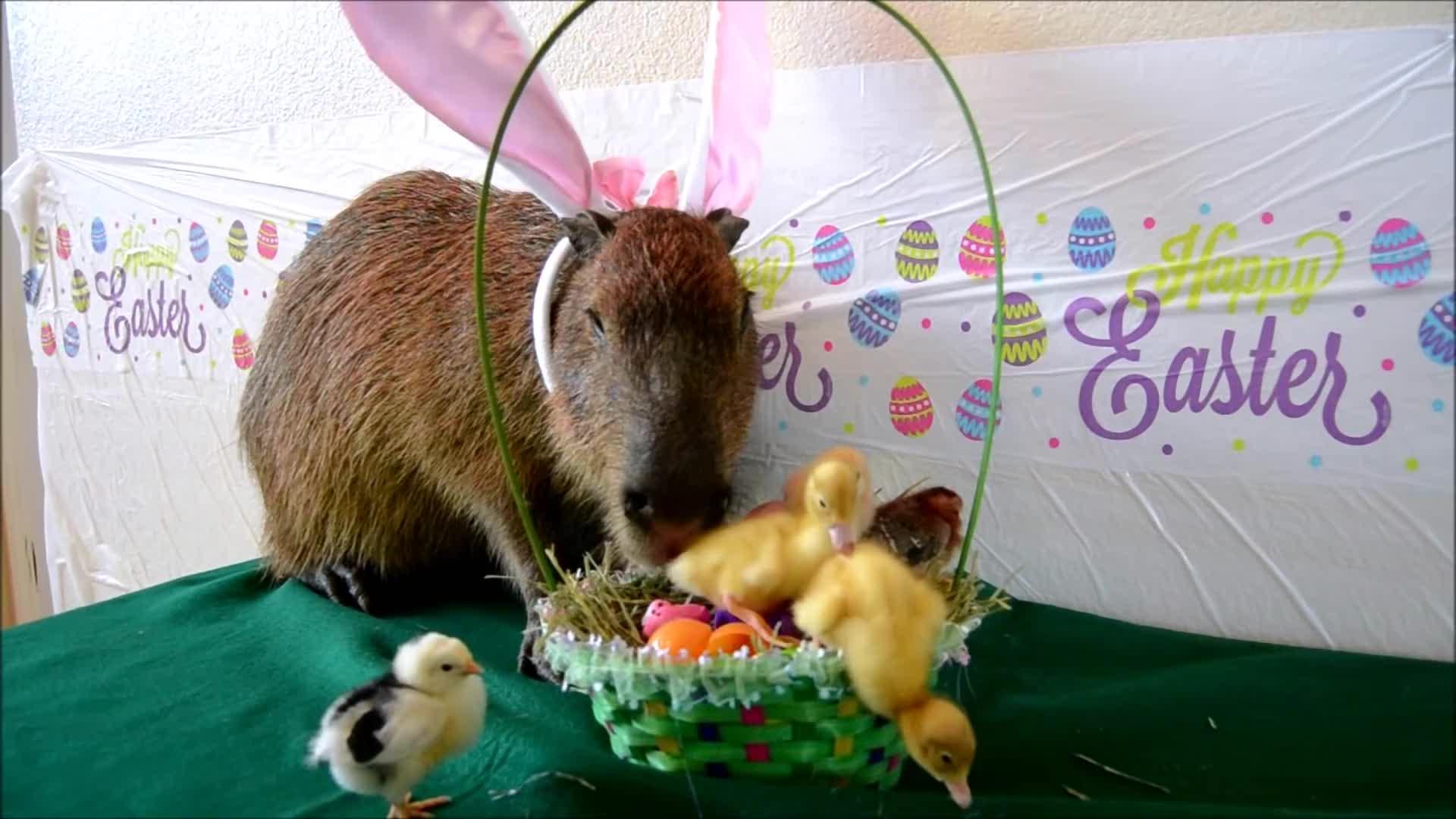 animals, awesome, capybara, crazy cody's creatures, ducks, joejoe the capybara, pets & animals, Cappy Easter GIFs