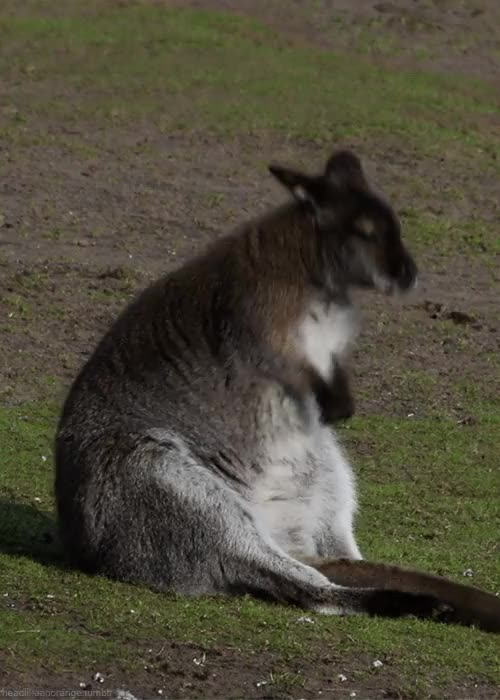Watch and share Kangaroo GIFs and Animals GIFs on Gfycat