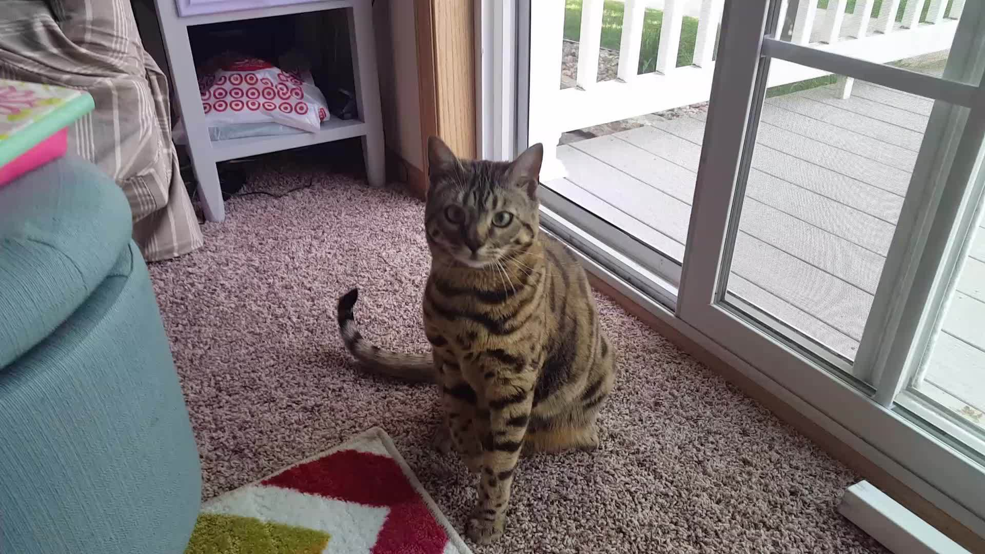 animalsbeingderps, cats, 20160522_144426_1 GIFs