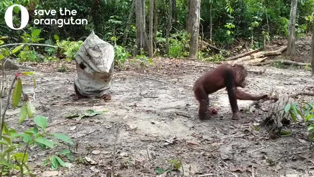 Watch Hilarious orangutan does everything to get his friends attention GIF on Gfycat. Discover more animal, animal video, fail, fun, fun with animals, funny, funstuff, hilarious, laugh, lol, mocking, omg, orangutan, orangutan video, savetheorangutan, video, wildlife GIFs on Gfycat