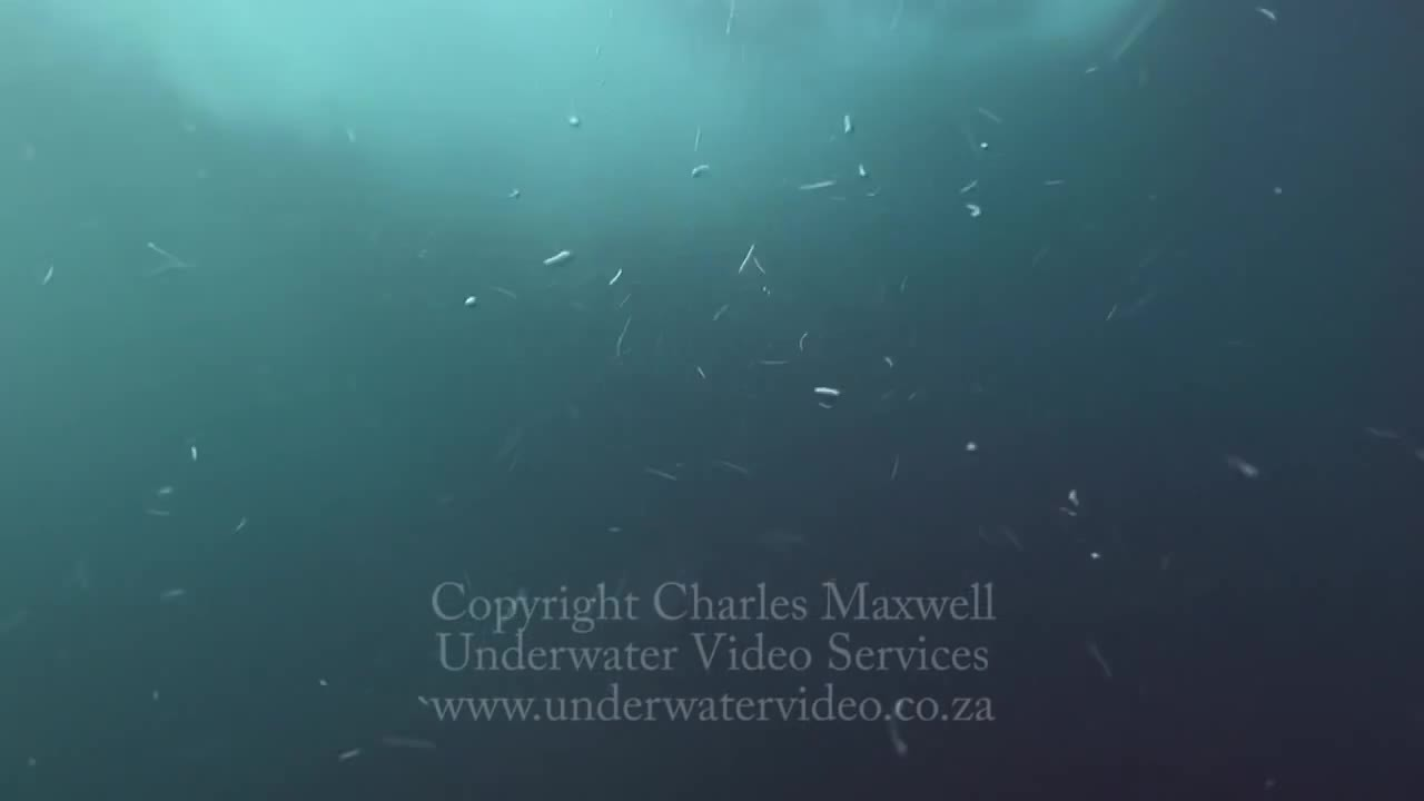 TsundereSharks, thalassophobia, Chased by a great white GIFs