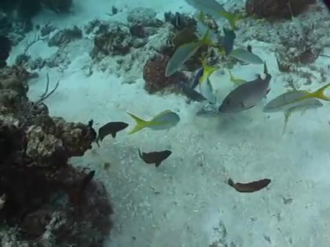 Barracuda ends a Yellowtail Snapper's suffering GIFs