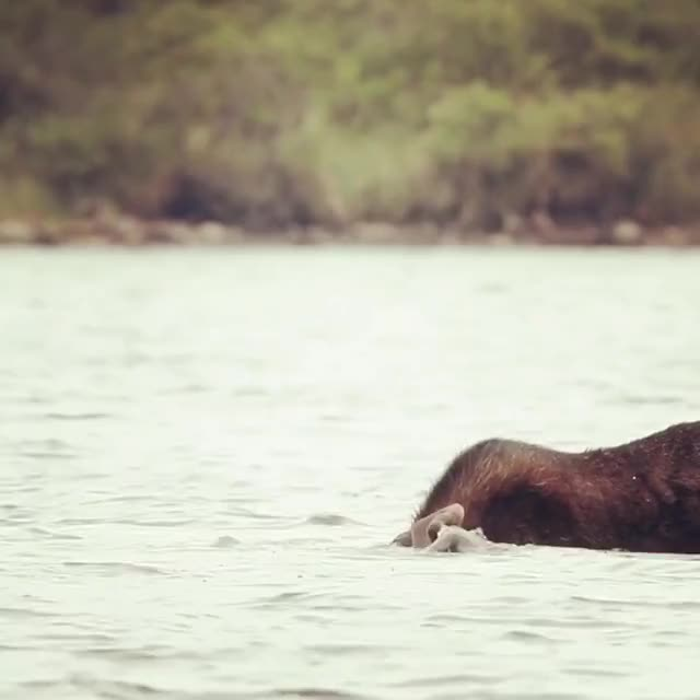 Watch and share A Moose Feeding On Aquatic Vegetation GIFs by Pardusco on Gfycat