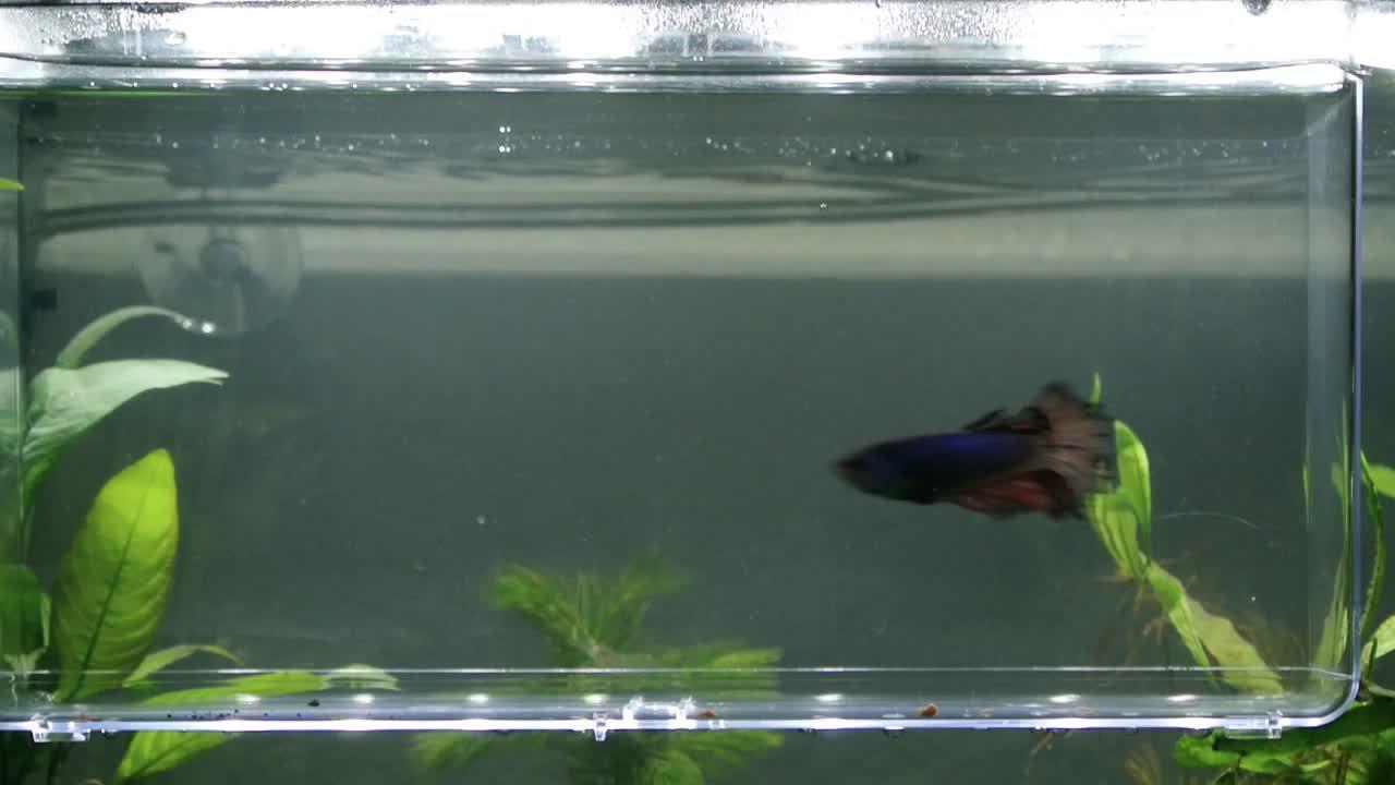 60fpsgfy, bettafish, Mercury Swimming GIFs