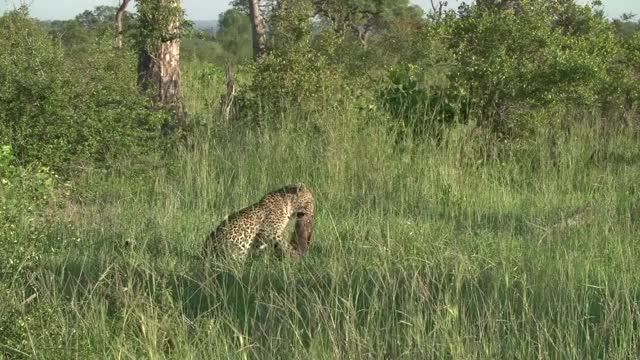 Watch and share Tatowa Carry Piglet GIFs by Londolozi Game Reserve on Gfycat