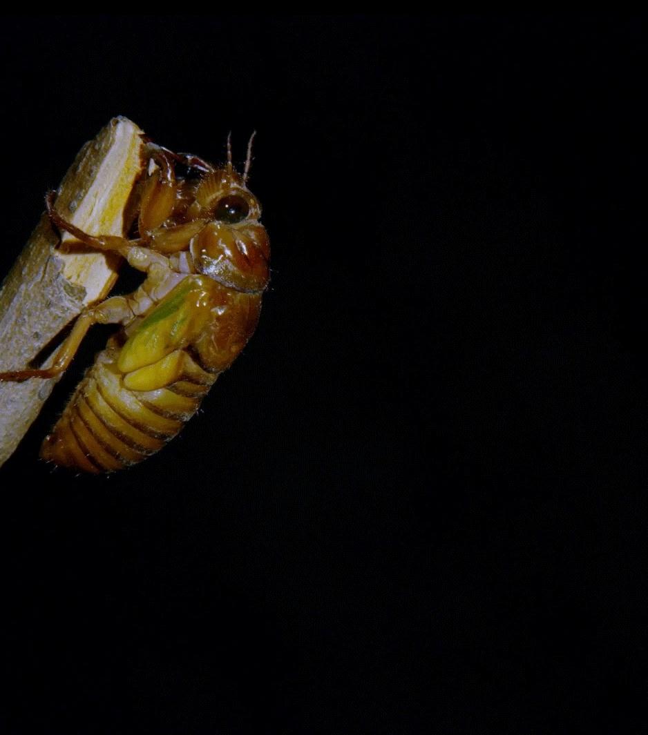 naturegifs, molting cicada (reddit) GIFs