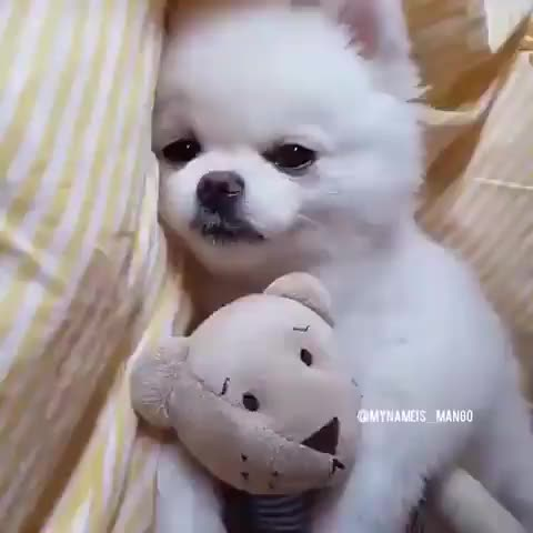 Watch and share , This Is Way Too Cute Credit: @paddysgoldenpuppies GIFs by likkaon on Gfycat
