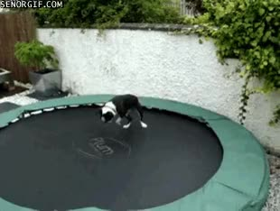 Watch and share Boston Terriers GIFs on Gfycat