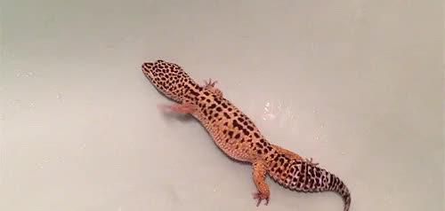 Watch and share Mordin The Gecko GIFs and Leopard Gecko GIFs on Gfycat
