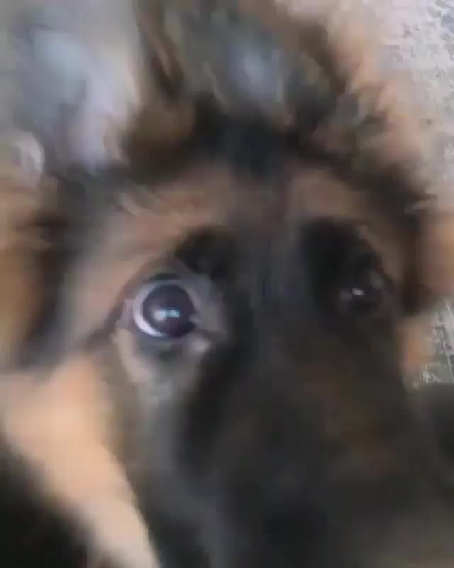 dog, puppy, Can't resist those eyes or ears GIFs