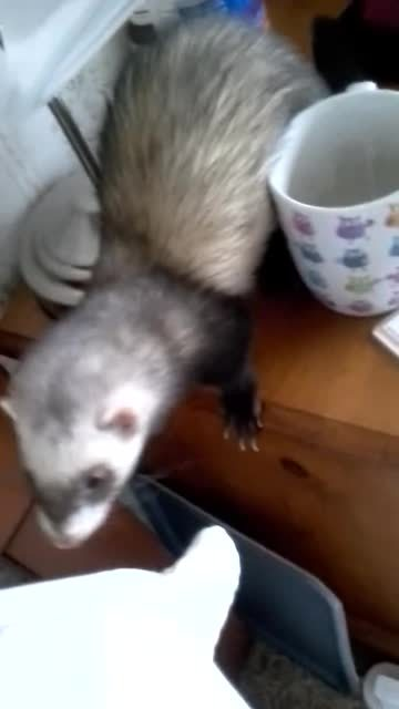 animalsbeingjerks, Jerk dog surprised by jerk ferret (reddit) GIFs