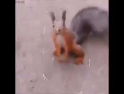 The dancing squirrel