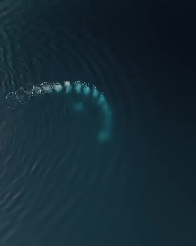 Watch and share 🐋 Humpback Whales Bubble-net Feeding GIFs by Jackson3OH3 on Gfycat