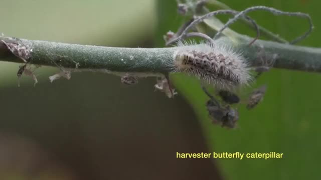 Watch and share Harvester Caterpillar Eating Woolly Aphids GIFs by Pardusco on Gfycat