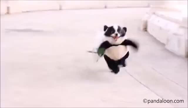 Watch and share Funny Panda Puppy Halloween Costume Original Video GIFs on Gfycat