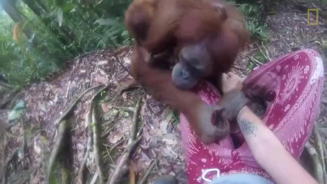 Watch Clingy Orangutan Gets Too Close For Comfort GIF by PM_ME_STEAM_K3YS (@pmmesteamk3ys) on Gfycat. Discover more related GIFs on Gfycat