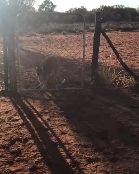 The Kangaroo Sanctuary, Kangaroo's feeding time GIFs