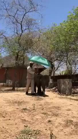 Watch An Umbrella to shade Mopane in this heat wave! GIF by PM_ME_STEAM_K3YS (@pmmesteamk3ys) on Gfycat. Discover more AnimalVideo, Conservation, HESC, SouthAfrica, Wildlifeconservation, baby elephants, best baby elephant video, elephant, orphaned elephants, wildlife conservation GIFs on Gfycat