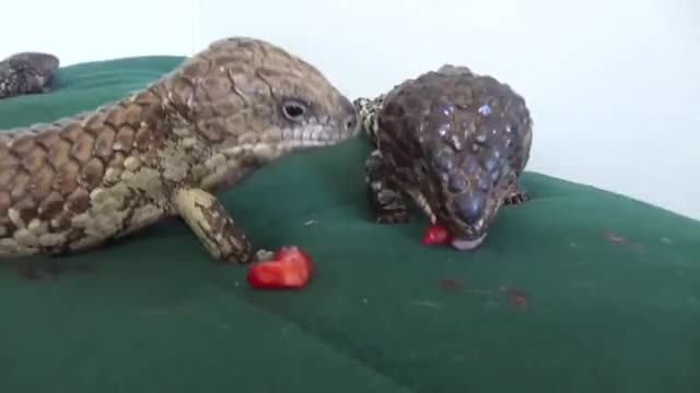 Watch The shingleback is an Australian skink species also known as the bobtail and sleepy lizard, among other names. Shinglebacks are monogamous, GIF on Gfycat. Discover more related GIFs on Gfycat