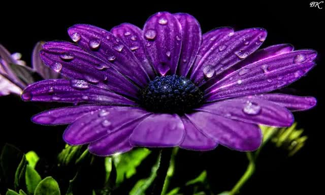 Watch and share Нежный Цветок С Каплями Росы GIFs on Gfycat