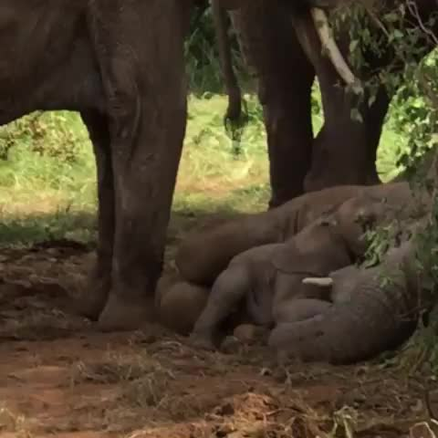 Watch this elephant GIF by vani  (@uncommonvanilla) on Gfycat. Discover more africa, babyelephants, backpackers, banelephantsusedinshows, banhunting, banivory, bekindtoelephants, cambodia, dontrideelephants, elephant, elephant blue 88 🐘💙, extinctionisforever, ivorybelongsonelephants, kenya, killingbreaksupfamilies, mothersday, samburu, saveourelephants, thailand, wanderlust GIFs on Gfycat