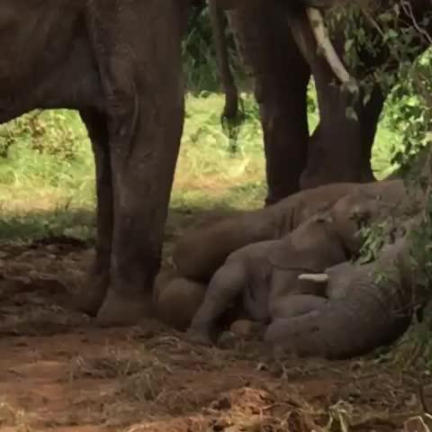 africa, babyelephants, backpackers, banelephantsusedinshows, banhunting, banivory, bekindtoelephants, cambodia, dontrideelephants, elephant, elephant blue 88 🐘💙, extinctionisforever, ivorybelongsonelephants, kenya, killingbreaksupfamilies, mothersday, samburu, saveourelephants, thailand, wanderlust, sweet baby elephant GIFs