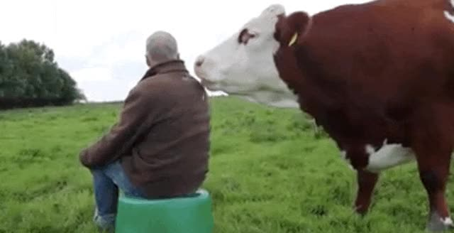 Watch and share Cow GIFs on Gfycat