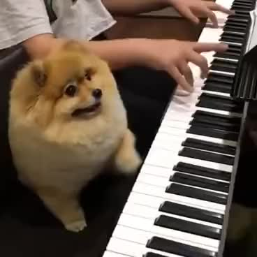 Watch and share Shila The Pom Playing Piano GIFs on Gfycat