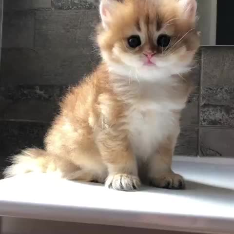 british golden chinchilla, Omg why are you so cute?😭 GIFs