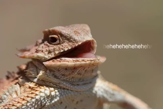 Watch and share Lizard Laugh GIFs on Gfycat