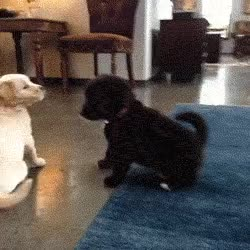 Watch and share Funny Lab Puppy Fight GIFs on Gfycat
