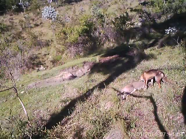 animal, canberra, fox, nature, wallaby, Footage of a fox attacking a wallaby in rural Canberra GIFs