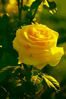 Watch and share Yellow Rose GIFs on Gfycat