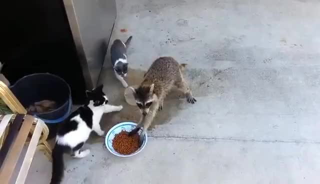Watch and share Raccoon Steals Cats' Food GIFs on Gfycat