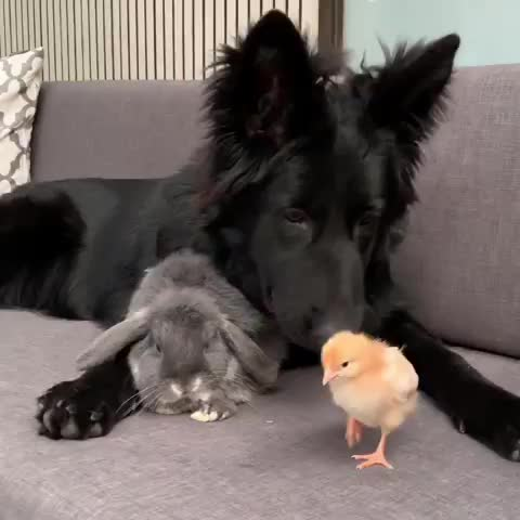bird, blackgsd, blackgsdpuppy, chickensofinstagram, dog, flashbackfriday, germanshepherds, gsdstagram, marley (girl) black gsd, melbournedogs, pupflix, rabbit, gentle dog GIFs