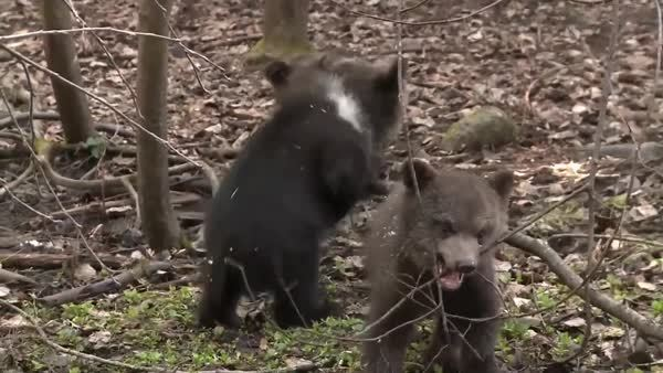 bearcubgifs, Mama say chewing tree branches make strong teeth (reddit) GIFs