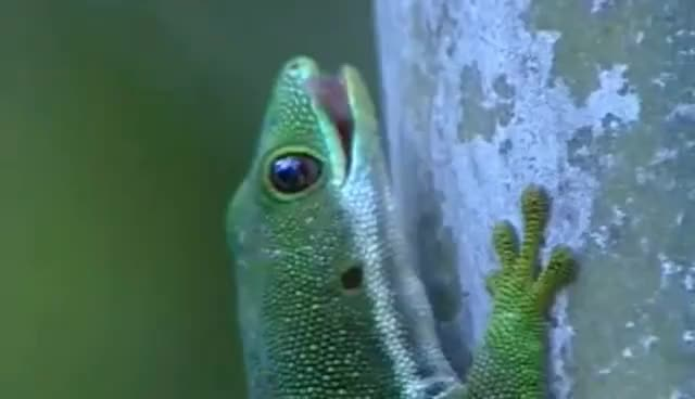 Watch and share GECKO! GIFs on Gfycat