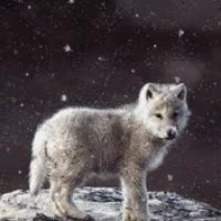 Watch and share Wolf Pup In Snow GIFs on Gfycat