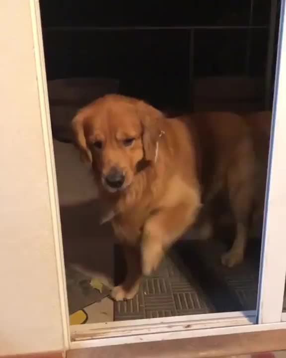 dogs, puppy, Pupper discovers he can pass through the force field of doom GIFs