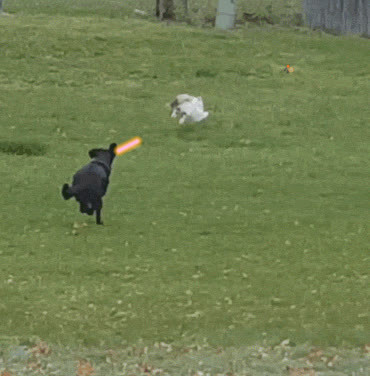 Dog Chases Cat Over Fence Gif