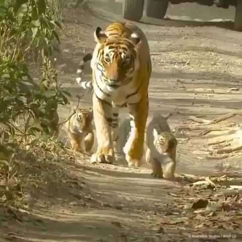 animals, art, beauty, discover, earth, earthpix, explore, geography, india, instagood, love, natgeo, nature, photography, place, sunset, tiger, travel, wonderful, worldwide, Female tigers can give birth to a litter of two to four cubs every two years. At birth, cubs are blind and helpless, but within a month they GIFs