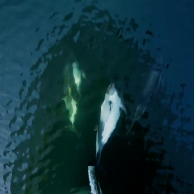 nature, Peale's dolphins riding along the bow of a National Geographic research vessel in the fjords of Patagonia GIFs