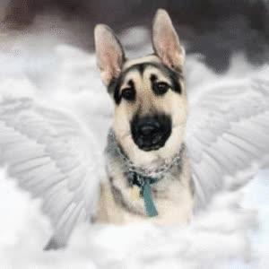 Watch and share Picture Of BEEZER-1997-2008, A German Shepherd Dog On Dogster GIFs on Gfycat