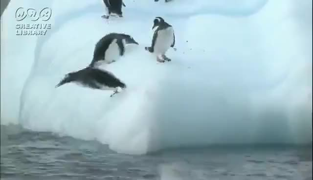Watch and share Penguin Troll GIFs on Gfycat
